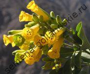 """Табак """"Табачное дерево"""" (Nicotiana glauca) 10 семян"""