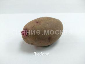 """Семенной картофель Супер Элита """"Любава"""", 1шт."""