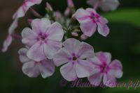 Флокс 'Разноцветье' / Phlox 'Raznotsvetye'