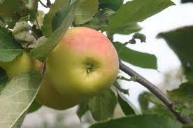 Яблоня традиционная Данила