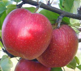 Яблоня традиционная Лигол