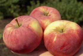 Яблоня традиционная Орловим