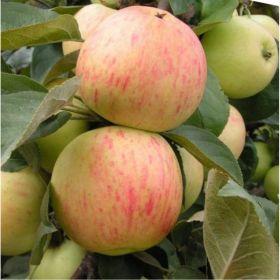 Яблоня традиционная Юбиляр (Подвой среднерослый ММ106 и 54-118, 2 года)