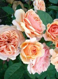 Роза парковая Чарльз Остин, Д.Остин