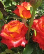 Роза чайно-гибридная Высший Свет