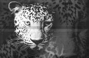 Composicion Leopard