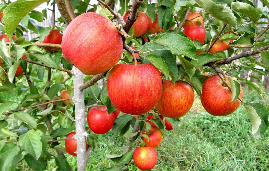 саженцы яблони пинова отправка с 1 сентября предзаказ