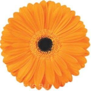 Гербера Orange UpГербера Orange Up