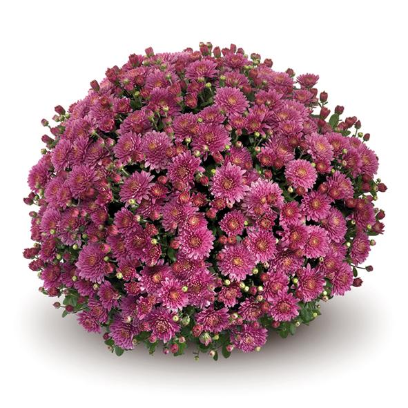 Amiko Violet хризантема шаровидная