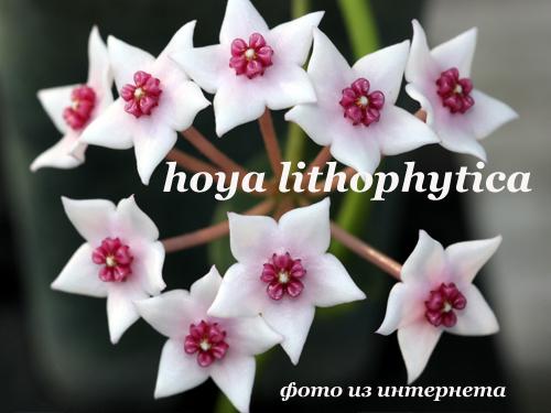 hoya lithophytica
