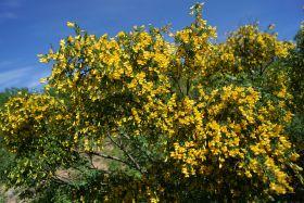 Карагана (желтая акация)