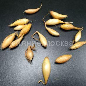 Лук-севок Гелиос, 100 гр. | Бамбергер