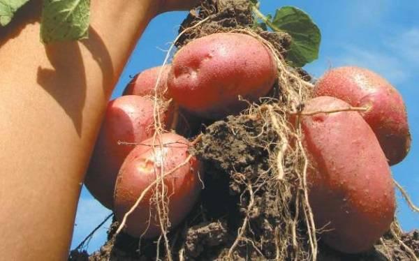 картофель сорт ароза крымская 10шт