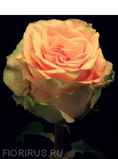 Роза Эквадорская  Финесс (Finess )