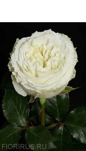 роза Майра Роуз (Mayra's Rose) White