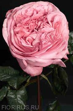 Роза Эквадорская Pink X-pression