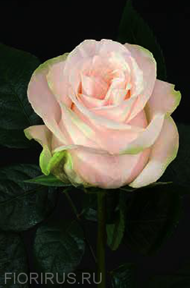 Роза Эквадор Garden Spirit