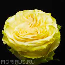 Роза Эквадор Динамик (Dynamic)