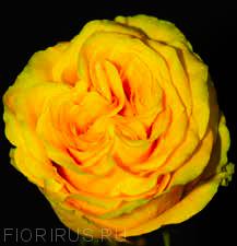 Роза Эквадор Кантри сан (Country Sun)