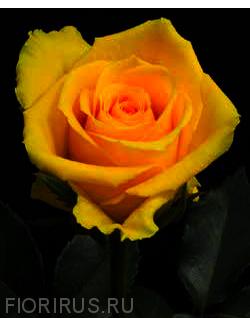Роза Эквадор Идол (Idole)