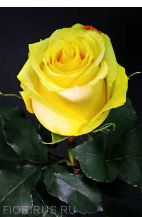 Роза Эквадор Тара (Tara)