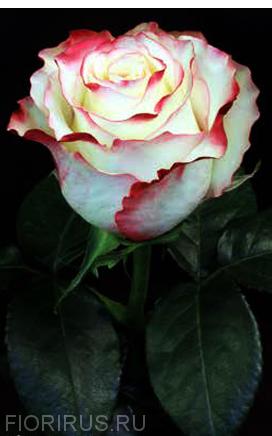 Роза Эквадор Свитнесс (Sweetness) Эквадор