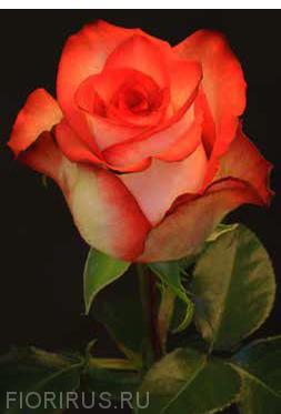 Роза Эквадор Блаш (Blush)