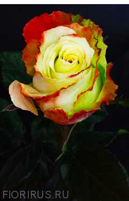 Роза Эквадор Аубэйд (Aubade)