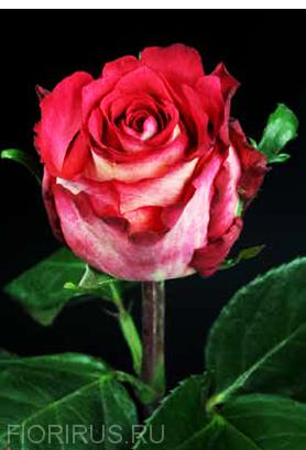 Роза Эквадор Игуасу (Iguazu) купить оптом