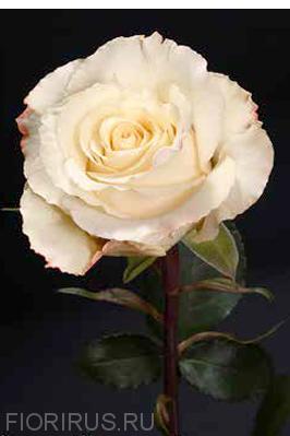 роза Эквадор Крим Амстердам (Cream Amsterdam)