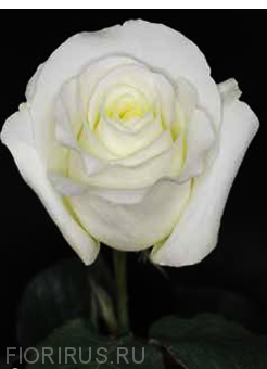 Роза Эквадор  Близард (Blizzard)