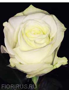 Роза Эквадор Полар Стар (Polar Star)