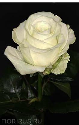 Роза Эквадор Тибет (Tibet)