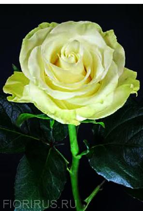 Роза Эквадор Мондиаль (Mondial)