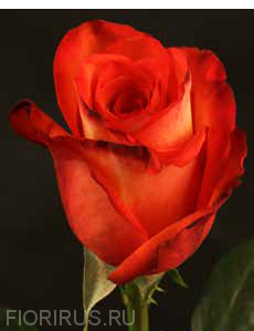 Роза Эквадор Хай энд Оранж (High & Orange)