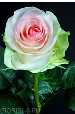 Роза Эквадор Сеньорита (Senorita)