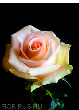 Роза Эквадор Эльза (Elsa)