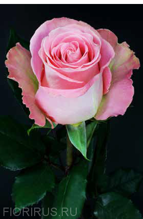Роза Эквадор Хермоза (Hermosa)
