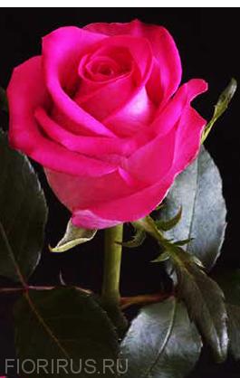 Роза Эквадор Топаз (Topaz)