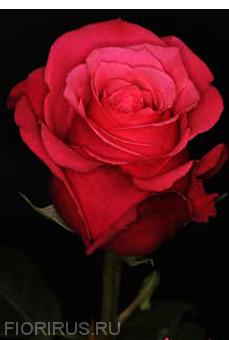 Роза Эквадор Черри О (Cherry O)
