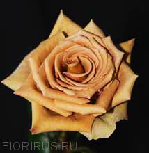 Роза Эквадор Тоффи (Toffee)