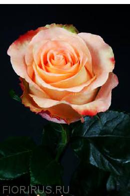 Роза Эквадор Пич Аубейд (Peach Aubade)