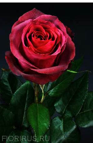 Роза Эквадор Матильда (Matilda)
