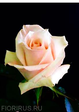 Роза Эквадор Свит Эскимо (Sweet Escimo)