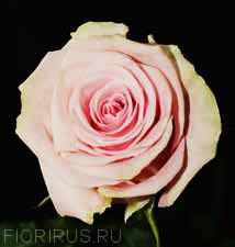 Роза Эквадор Блесинг (Blessing)