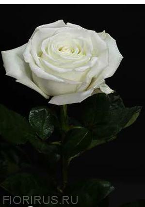 Роза Эквадор Плая Бланка (Playa Blanca)