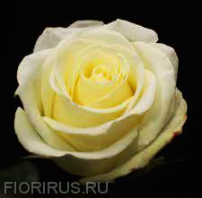 Роза Эквадор Иглу (Igloo)