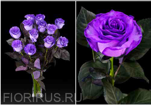 Роза Эквадор Перпл (Purple)