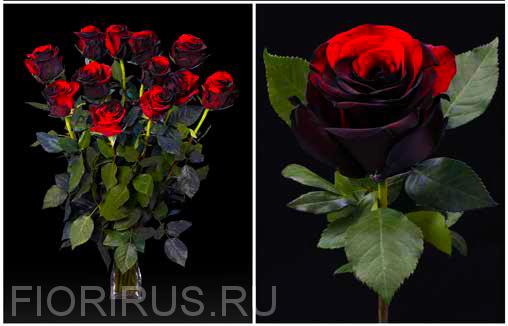 Роза Эквадор Блэк фаер (Black fire)