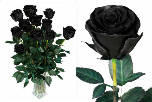 Роза Эквадор Блэк (Black)